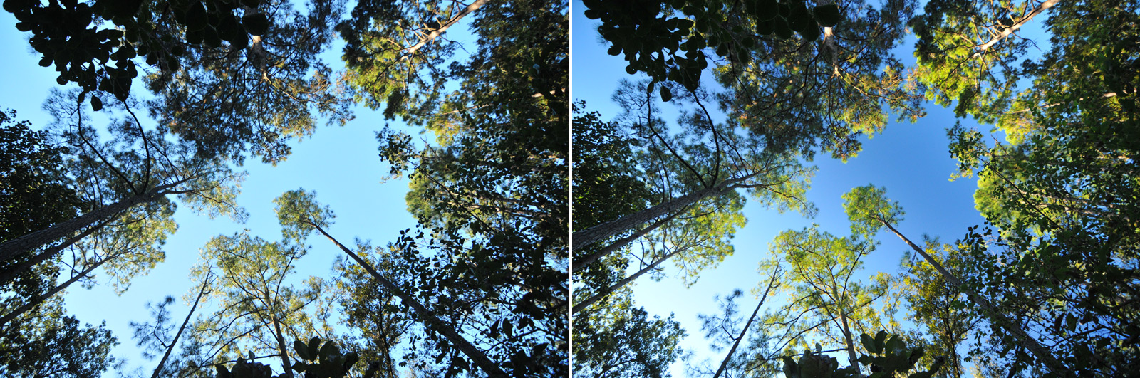 Polarizing filter effect looking up at the sky through pine trees